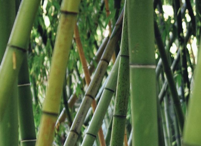 Plants de bambou